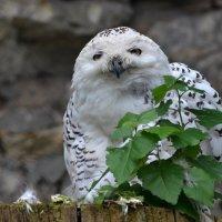 Белая сова... :: Наташенька *****