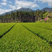 Чайные плантации острова Якусима :: slavado