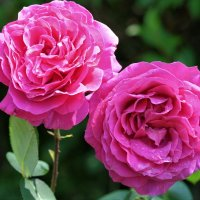 Палитра роз :: Swetlana V