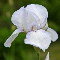 Белый ирис. :: Valeri Verovets