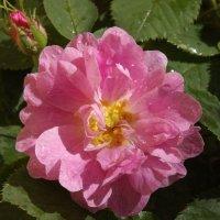 Цветок роса поила... :: нина