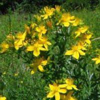 Hypericum perforatum L. (семейство Hypericaceae)Зверобой продырявленный :: vodonos241