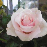 Нежная роза :: татьяна