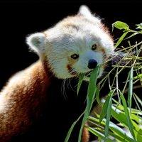 красная панда :: Михаил Бибичков