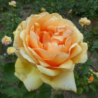 Вот и розы расцвели! :: Татьяна Лобанова
