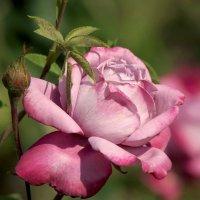 Ах, эти розы :: Derjavin -