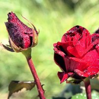 Роза :: Евгений Верзилин