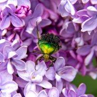 Зеленый жук :: Селянка Наталья