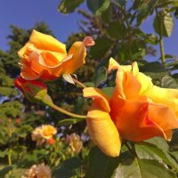 жёлтые розы :: tina kulikowa