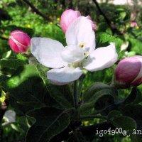 Май раскрасил мир зеленым, Белым, розовым, веселым! :: Игорь Пляскин