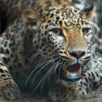 Персидский леопард. :: Виктор Шпаков