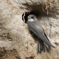 Береговушка у гнезда :: Александр Новожилов
