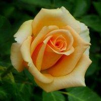 Абрикосовая роза. :: Nata