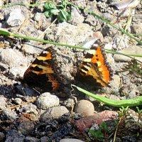 Бабочки :: Лариса