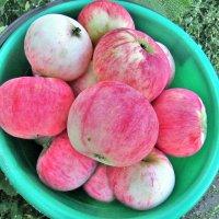 Райские яблочки :: Владимир