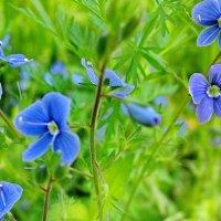 Полевые цветы Урала :: OLLES