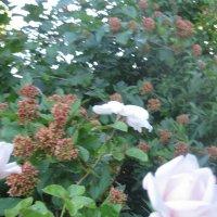 Розы :: Smit Maikl