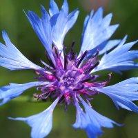 Пять оттенков синего (серия 5 фото) :: Swetlana V