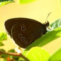 Aphantopus hyperantus - Глазок цветочный :: Alisa Koteva