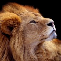 Царь зверей. :: Nata