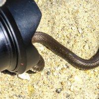 любопытная змея :: Георгий А