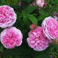Розовые красотки :: sm-lydmila Смородинская