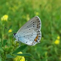 *Голубянка аргиад, голубянка короткохвостая :: vodonos241
