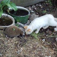 Гости наших котов - ёжик :: Светлана Рябова-Шатунова