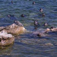 кто то испугал нерпы, все пошли в воду :: Георгий