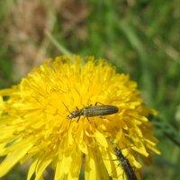 Цветок одуванчика и жуки :: OLLES