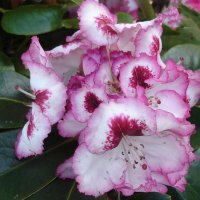 Цветы рододендрона - почти брошки :: Тамара Бедай