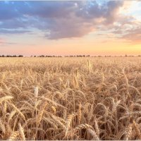 Пшеница :: Евгений