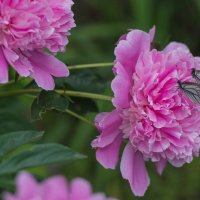 Бабочки на цветке. :: Serge Lazareff