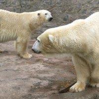 Белые медведи. :: Nata