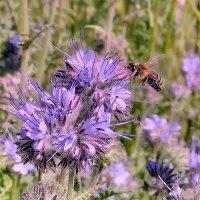 Пчела на фацелии :: Александр Бойченко