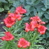 Красные лилии :: Дмитрий Никитин