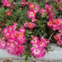 Розы :: Денис Матвеев