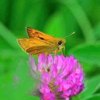 Бабочка толстоголовка :: Константин Анисимов