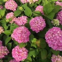 Гортензия цветет :: minchanka