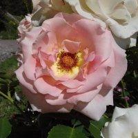 Роза :: Сапсан