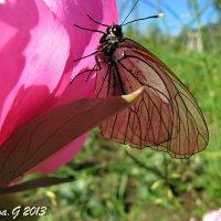 Бабочка белянка на цветке пиона :: OLLES