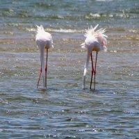 Фламинго. :: Jakob Gardok