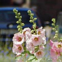 Городские цветы :: Елена Макарова