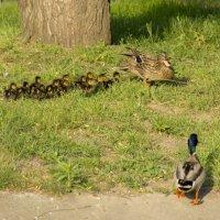 защищая птенцов :: оксана