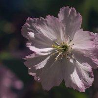 цветение :: Iulia Efremova