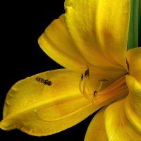 Желтый лилейник. :: Nata