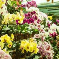 сад орхидей :: Ольга Горд