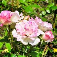 Как хороши, как свежи были розы :: Сергей Беличев