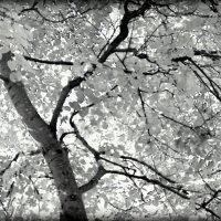 Дерево . :: Любовь