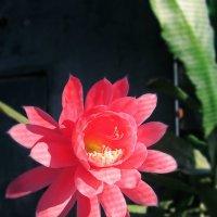 цветок кактуса :: Лера